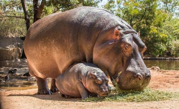 Hippo-Brindabella-web620-Victoria Zoo